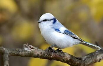 Белая лазоревка, или князёк — аристократичная птичка