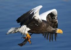 Белоплечий Орлан — одна из самых тяжелых птиц