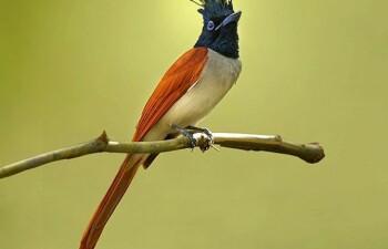 Райская мухоловка — птица, сбежавшая из Эдема