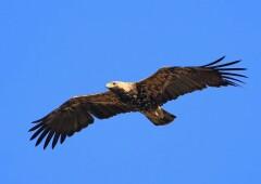 Могильник — орёл со зловещим именем