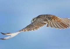 Царская птица — кречет