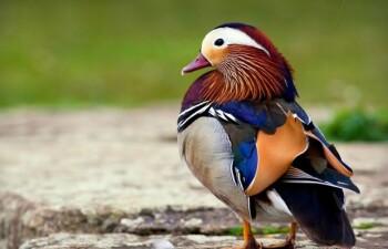 Чудо природы — птичка мандаринка