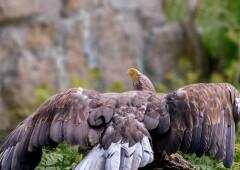Орлан-Белохвост  — небесный аристократ