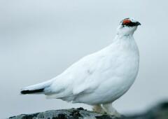 Белая куропатка — арктическая красавица