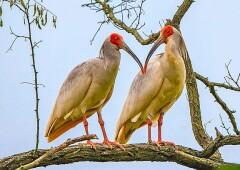 Уникальные птицы — Красноногие Ибисы