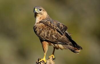 Курганник: все о хищной птице