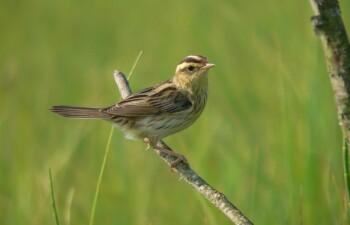 Вертлявая камышевка – природный символ певчих птиц
