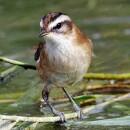 Японская камышевка — вид птиц Старого Света
