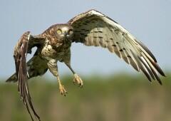 Змееяд — орел, имеющий короткие пальцы