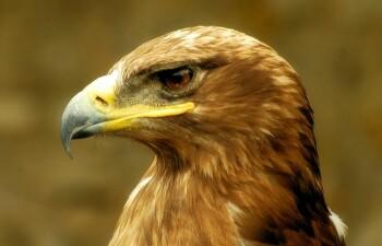 Орел беркут — птица необыкновенная