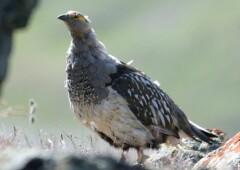 Алтайский Улар — величественный родственник павлина