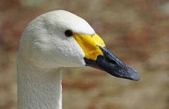 Американский лебедь — литературный герой и редкая птица