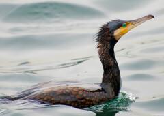 Хохлатый баклан — птица, которая не выходит сухой из воды