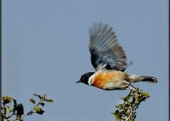 Выдающаяся птица — Большой чекан