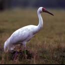 Стерх, или белый журавль — редкая птица счастья