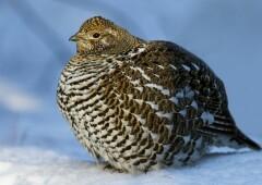 Дикуша — самая доверчивая птичка