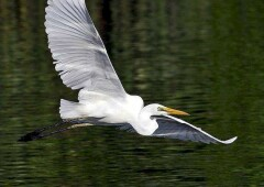Средняя белая цапля — почти неизученный вид