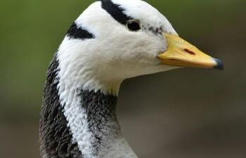 Горный гусь — яркая изюминка природы