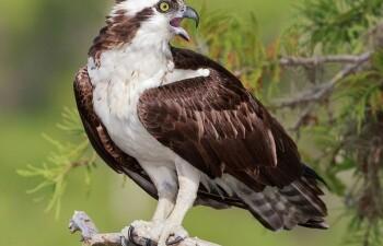 Скопа – пернатый хищник в Красной Книге России