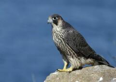 Сокол-сапсан: эта сильная и быстрая птица