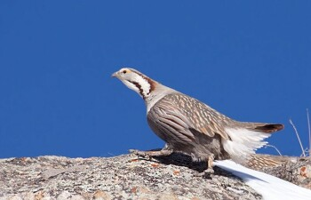 Каспийский Улар — птица, которая не любит летать