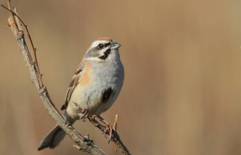Овсянка Янковского — вид птиц из рода настоящих овсянок