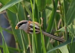 Тростниковая сутора — коренной житель озера Ханка