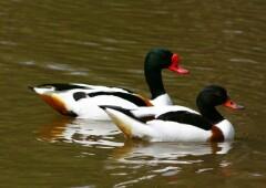 Хохлатая пеганка — утка с богатой историей