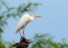Египетская цапля — снежно-белая грациозная птаха