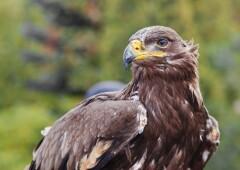 Степной орёл — самый смелый хищник поднебесья
