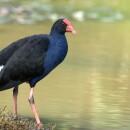 Порфирион, или султанка — нарядная птица