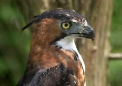 Хохлатый орел — изящный хищник из семейства ястребиных