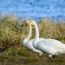 Малый лебедь — брат-близнец Кликуна
