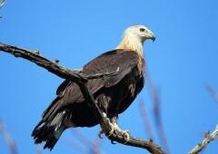 Орлан-Долгохвост  — исключительно редкая птица