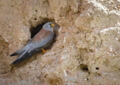 Степная пустельга — степной хищник