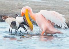 Розовый Пеликан — птица из наших легенд