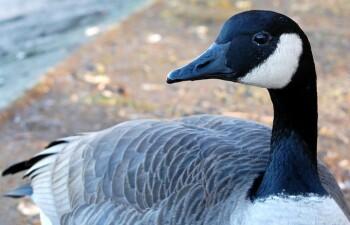 Канадские казарки — свободолюбивые птицы