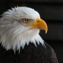 Белоголовый орлан — индейская божественная птица