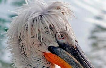 Кудрявый пеликан, известный в народе как «баба»