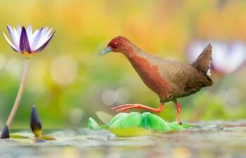 Красноногий погоныш — вид птиц из семейства пастушковых