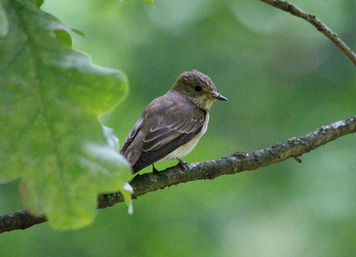 Мухоловка - птица отряда Воробьиных