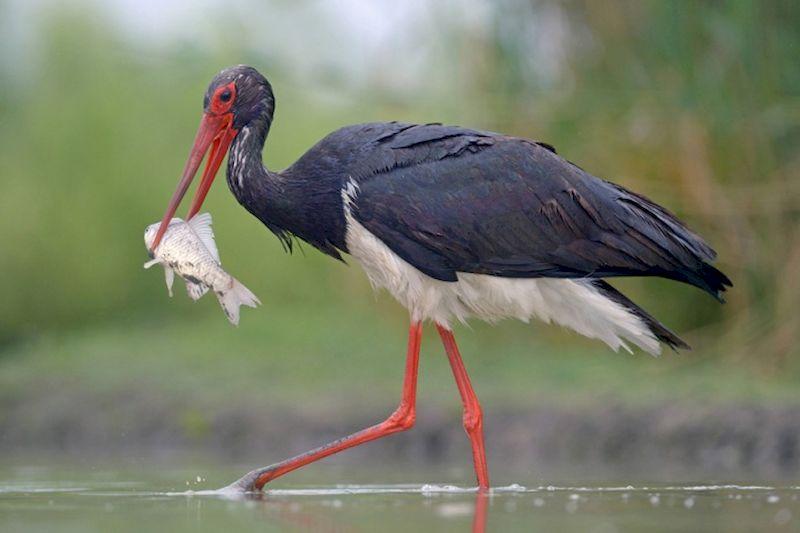 Аист Чёрный ест рыбу