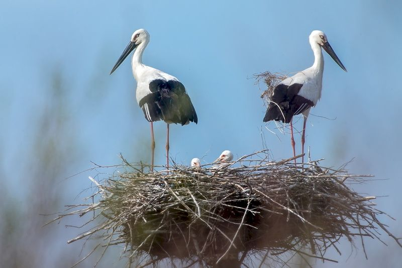 Аист Дальневосточный в гнезде с птенцами