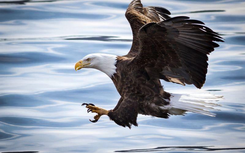 Белоголовый орлан над морем