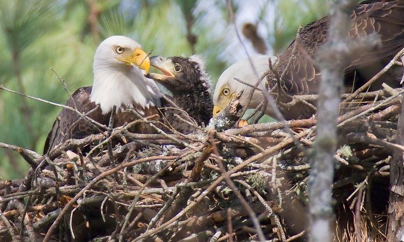 Белоголовый орлан с птенцом в гнезде