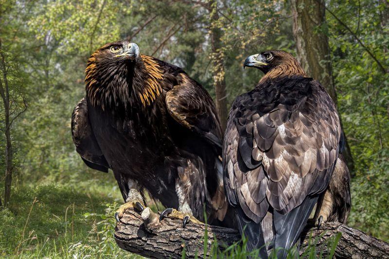 Самец и самка беркута