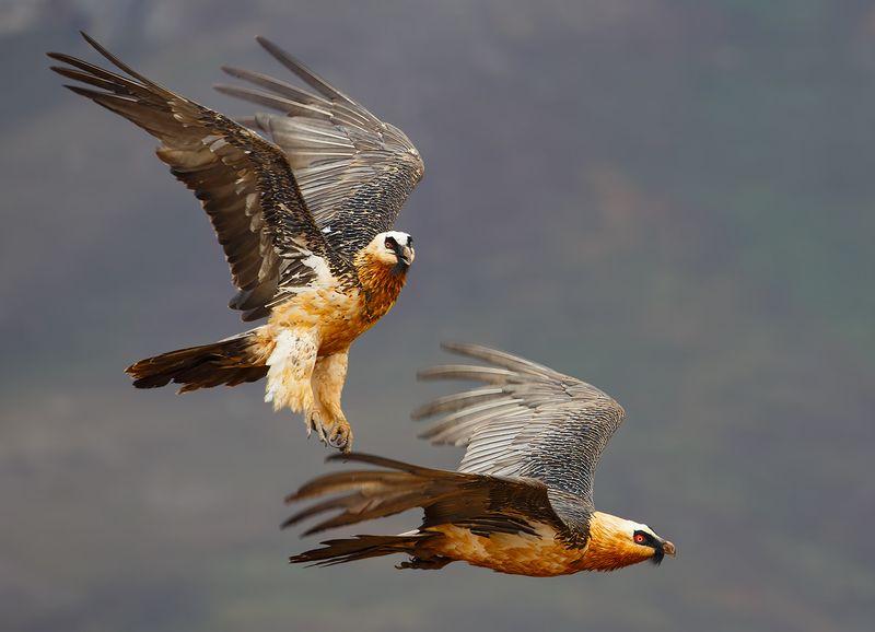 Самка и самец бородача