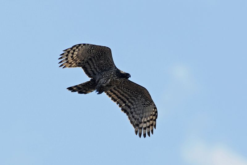 Хохлатый орел на охоте