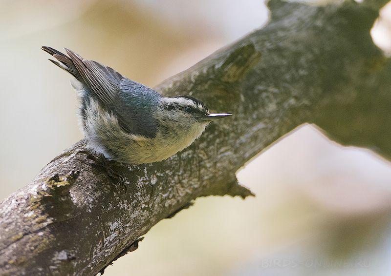 Косматый поползень на дереве