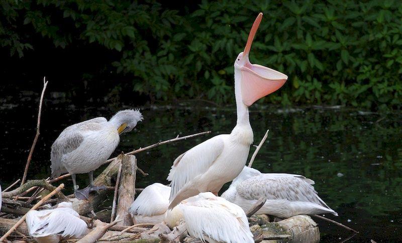 Место гнездования кудрявого пеликана